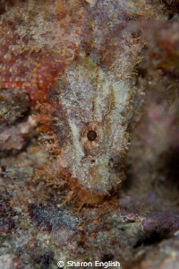 Beautiful scorpionfish by Sharon English 